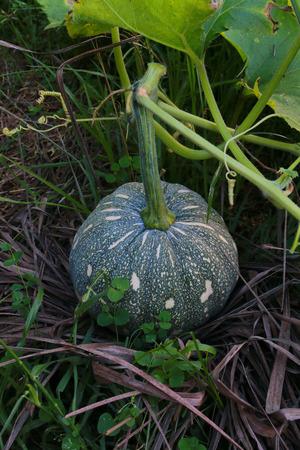 unripe: The unripe pumpkin is growing on haystack.