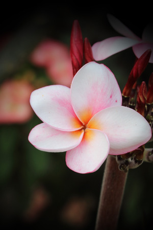 branch of pink plumeria.flower is blooming. photo