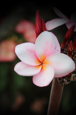 branch of pink plumeria.flower is blooming. photo