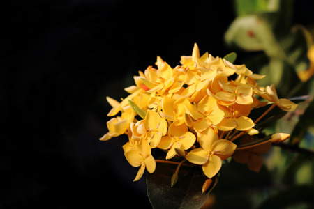 bunch of yellow ixora is blooming photo