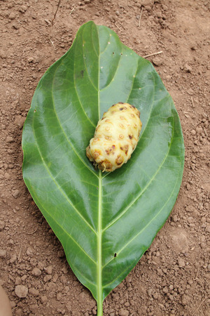 great morinda: Great morinda  is puting on its leaf Stock Photo