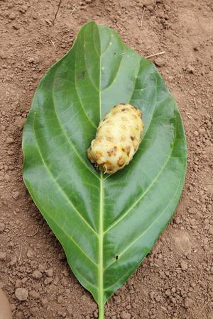 great morinda: Great morinda  is puting on its leaf Stock Photo