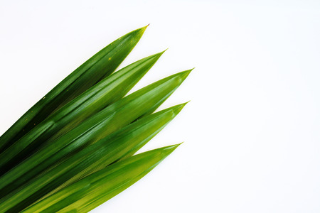 pandanus: Five pandanus leaves are on white background.