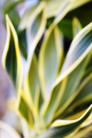 image of blur leaves which have yellow and green color photo