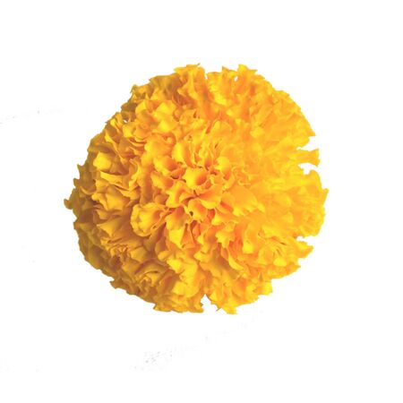 marigold ,isolated white background and saved clipping path
