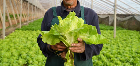 Chinese farmers holding Rome lettuce in hand