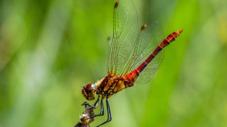 Red Dragonfly Macro Shot Stock Photo