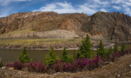 Russia. Mountain Altai. Chuyskiy tract in the period of the flowering of Maralnik (Rhododendron Ledebourii). 版權商用圖片