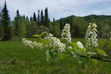 Russia. Kuznetsk alatau. Cherry ordinary naturalized worldwide in temperate climate. Banco de Imagens