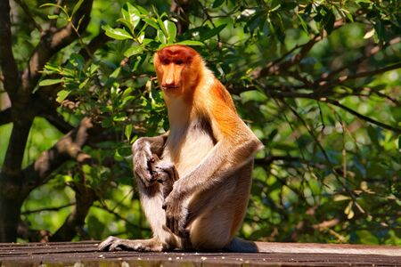 Malaysia. The long-nosed monkey or kahau (lat. Nasalis larvatus) is a species of Distributed exclusively to the island of Borneo, where it inhabits the coastal regions and valleys. Stock fotó