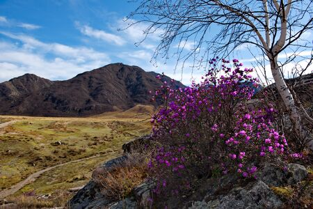 Russia. Gorny Altai (Rhododendron Ledebourii) in the area of the Chuya highway.