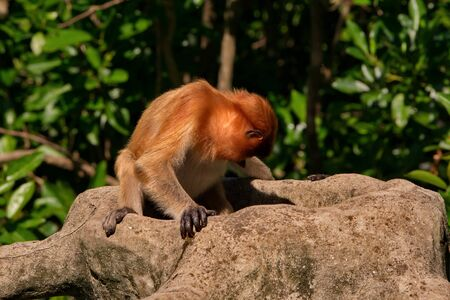Malaysia. The long-nosed monkey or kahau (lat. Nasalis larvatus) is a species of Distributed exclusively to the island of Borneo, where it inhabits the coastal regions and valleys.