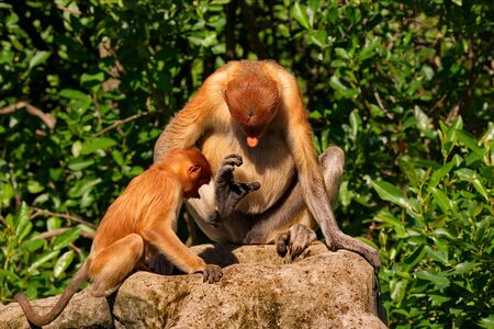 Malaysia. The long-nosed monkey or kahau (lat. Nasalis larvatus) is a species of Distributed exclusively to the island of Borneo, where it inhabits the coastal regions and valleys. Zdjęcie Seryjne