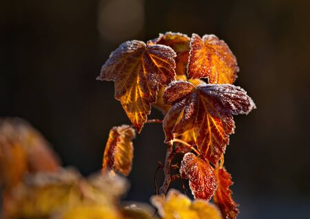 Russia. Kuznetsk alatau. The bushes of black currants covered with heavy frost on an autumn morning.