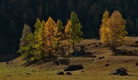 Russia. Mountain Altai. Yellow larch along the Chui tract. 스톡 콘텐츠