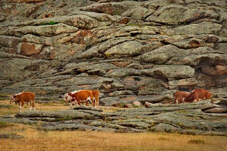 Eastern Kazakhstan. Peacefully grazing cows in Bayanaul national natural park.