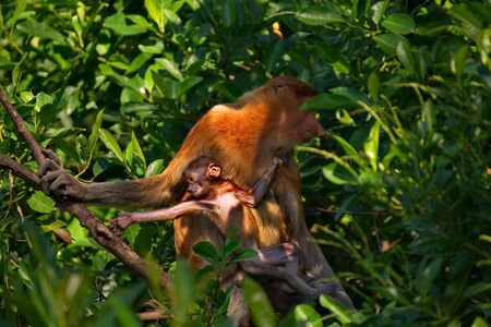Malaysia The long-nosed monkey or kahau - a species of primates from the subfamily of thin-bodied monkeys in the family of monkeys. Distributed exclusively on the island of Borneo