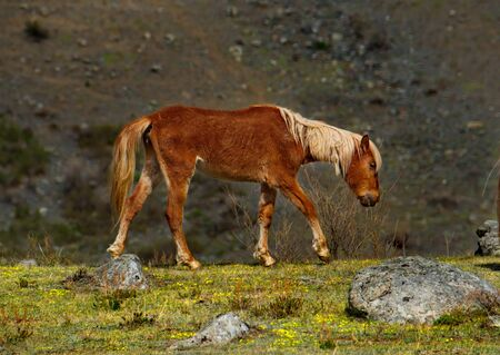 Russia. The South Of Western Siberia. Mountain Altai. Freely grazing horses along the Chui tract.