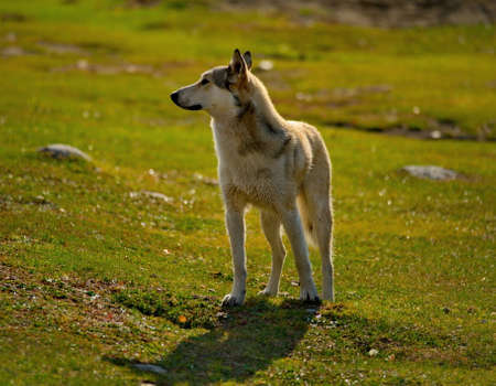 Russia. Mountain Altai. A dog of unknown breed, but clearly with signs of the husky breed, is keen to search for prey on the banks of the autumn river Reklamní fotografie