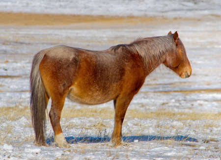 Russia. Eastern Siberia. TRANS-Baikal horse breed has a high endurance and adaptation to harsh cold winters.