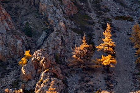 Russia. South Of Western Siberia. Mountain Altai. Larch trees in autumn gold on the tops of mountain ranges illuminated by the evening rays of the sun. 免版税图像