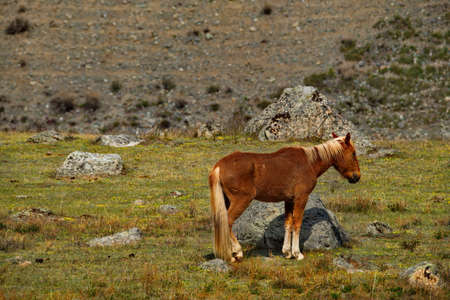 Russia. mountain Altai. Peacefully grazing horses on the autumn mountain steppes along the Chui tract.