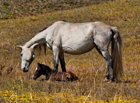 Russia. mountain Altai. Peacefully grazing horses with foals on the autumn mountain steppes along the Chui tract. 免版税图像