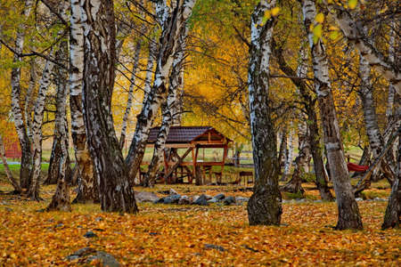 Russia. South Of Western Siberia. Mountain Altai. Golden birch grove in the valley of the Bolshoy Ilgumen river near the village of Kupchegen.
