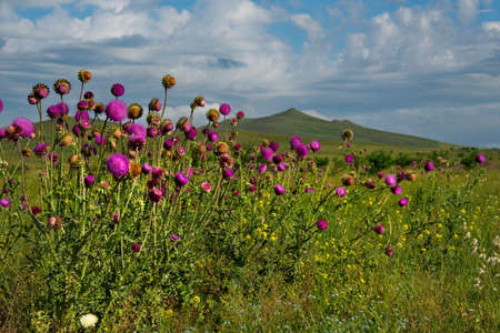Russia. Republic Of Khakassia. In the vast mountain steppes, where trees do not grow due to constant strong winds, plants such as prickly thistles survive.