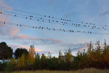 Russia. Republic of Karelia. A flock of starlings settled on electric wires in a dacha village on the shore of Lake Onega against the backdrop of a picturesque autumn sunset.