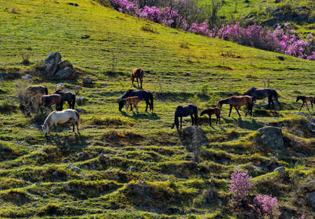 Russia. South of Western Siberia, Mountain Altai.A small herd of horses with foals graze on the steep slopes of the rocky mountains surrounded by flowering rhododendron near the village of Kupchegen.