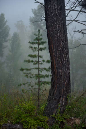 Russia. Trans-Baikal Territory. A young pine tree under a large curved pine tree against the background of the morning summer fog on the bank of the Chikoy River.