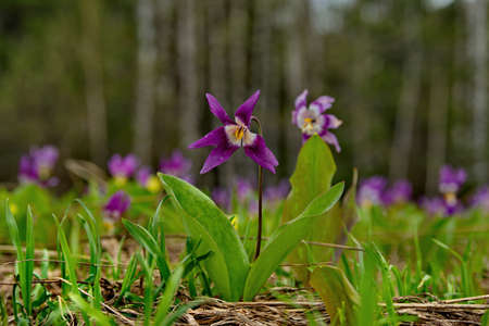 Russia. South of Western Siberia, Kuznetsk Alatau. Siberian spring flowers on the southern slopes of the mountains along the Tom river.