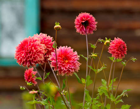 Russia. Chita region. Blooming chrysanthemums on the dacha plot of the village of Zolotoy Priisk on the bank of the Chikoy River.