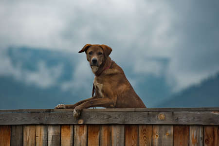 Russia. Chita region. A yard dog on a wooden fence of a dacha plot in the village of Krasny Priisk. Banque d'images