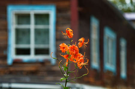 Russia. Chita region. Blooming American lily on the dacha plot of the village of Gold Priisk on the bank of the Chikoy River.