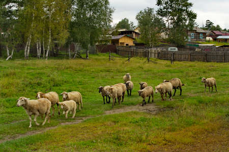 Russia. Chita region. A flock of sheep is hurrying to the pasture in the village of Red Priisk. Banque d'images
