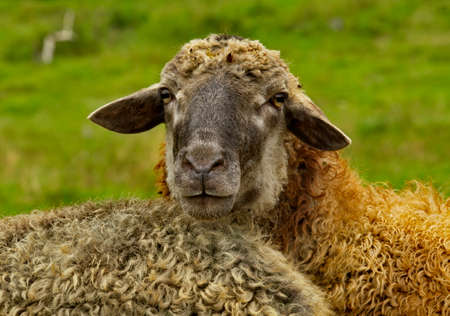 Russia. Chita region. A sheep grazing freely in the village of Red Priisk.