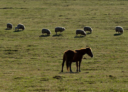 Russia. South of Western Siberia, Mountain Altai. On a sunny spring morning, sheep and horses graze peacefully on the high-altitude steppe.