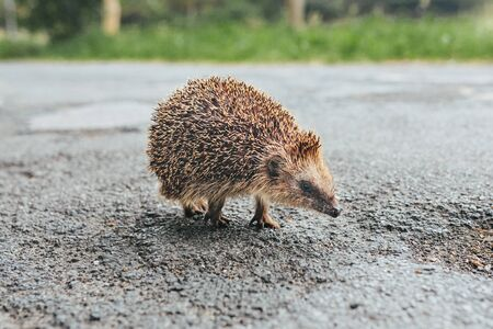 Baby hedgehog on a street