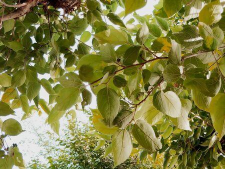 beautiful leafs in the tree Stockfoto - 150296789