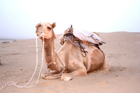 Camel sitting on a desert land photo