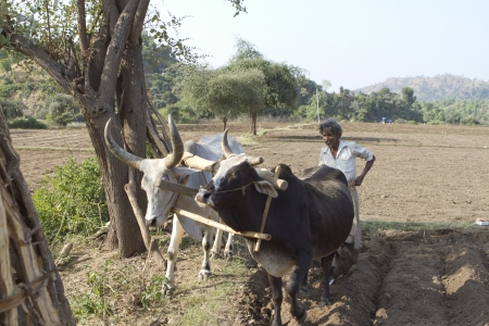 Jodhpur, India - November 12, 2012: A farmer uses bullocks to plow his land on the outskirts of Jodhpur, India. Many farmers in India still use traditional methods in agriculture.