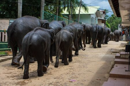 Elephant family walking through a villag Sri Lanka Kandy