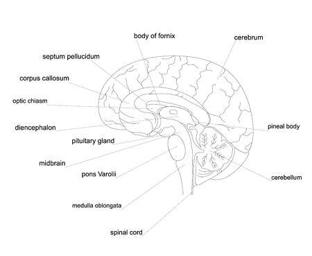 Outline human brain anatomy.Central Nervous System line diagram.