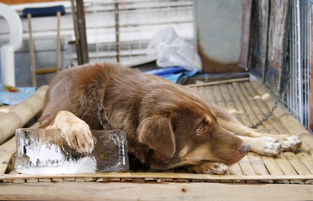 cool off: Dogs who are using ice to cool off.