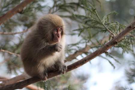 Snow monkey also known as a Macaque Monkey from Nagano in Japan Stock Photo