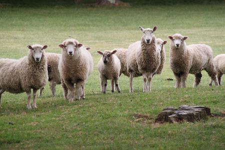 Un rebaño de ovejas se reúnen para posar para una fotografía de un campo de golf de Nueva Zelanda Foto de archivo