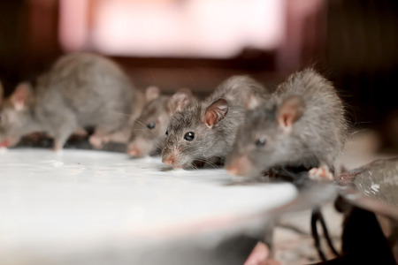 feed up: Rats drinking milk in an indian temple