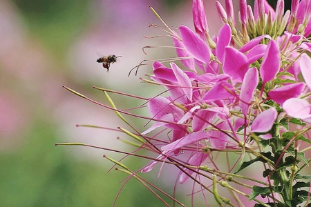 bee on flower: One bee and Pink flower Stock Photo